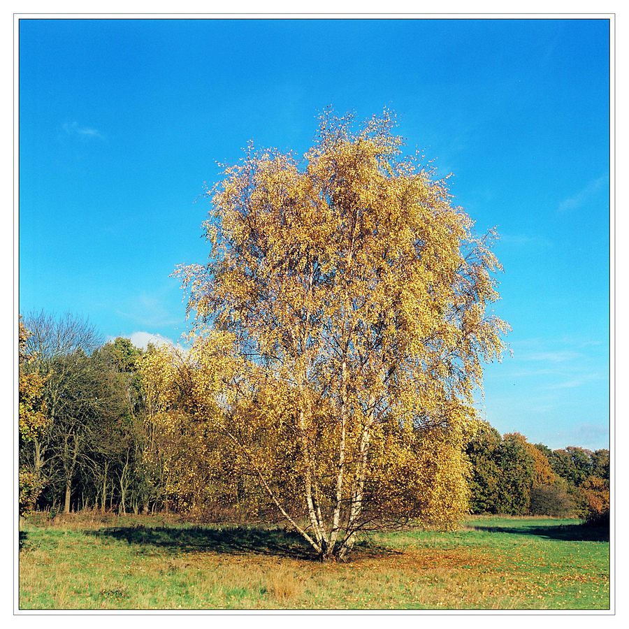 Silver Birch in Autumn | LENS MODEL NOT SET <br> Click image for more details, Click <b>X</b> on top right of image to close