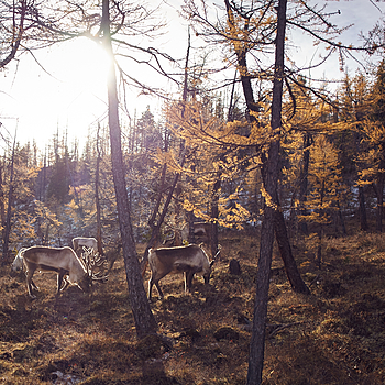 REINDEER HERD | ZEISS DISTAGON F2 25MM <br> Click image for more details, Click <b>X</b> on top right of image to close