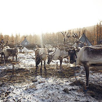 REINDEER IN THE TSAATAN CAMP | ZEISS DISTAGON F2 25MM <br> Click image for more details, Click <b>X</b> on top right of image to close