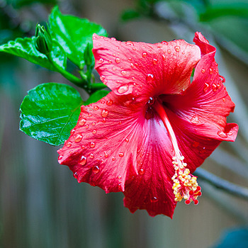 Hibiscus Raindrops | ZEISS CY VARIO-SONNAR 35-70MM F3.4 <br> Click image for more details, Click <b>X</b> on top right of image to close