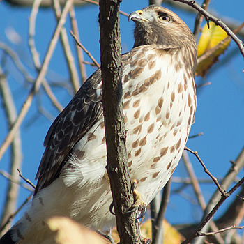 Coopers Hawk | ZEISS CY VARIO-SONNAR 80-200MM F4