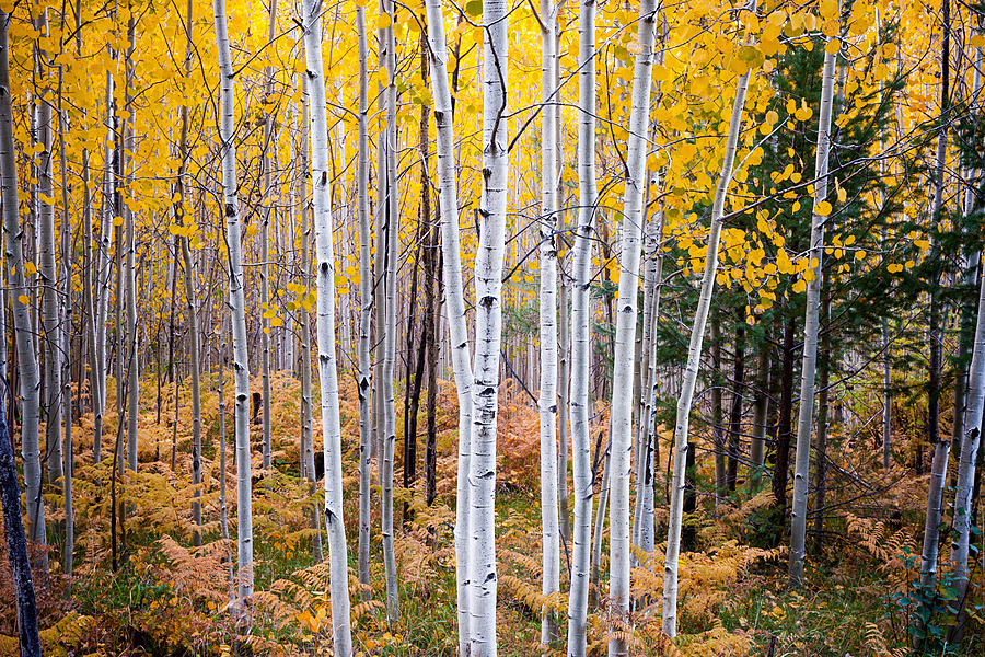 Signal Peak Aspens #2 | ZEISS ZA VARIO-SONNAR F2.8 24–70MM <br> Click image for more details, Click <b>X</b> on top right of image to close