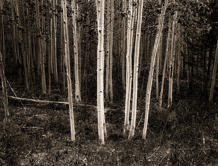 B/W aspens | ZEISS ZA VARIO-SONNAR F2.8 24–70MM <br> Click image for more details, Click <b>X</b> on top right of image to close