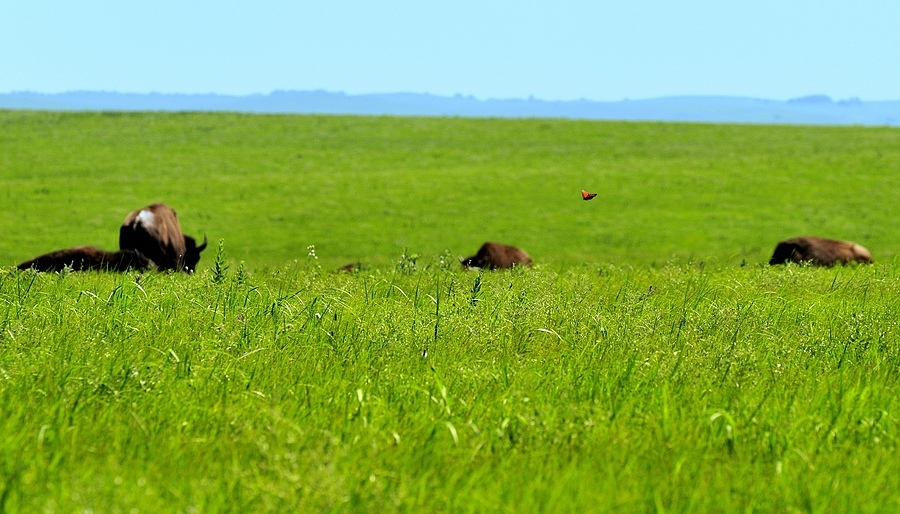 Butterfly Over Bison | LENS MODEL NOT SET <br> Click image for more details, Click <b>X</b> on top right of image to close