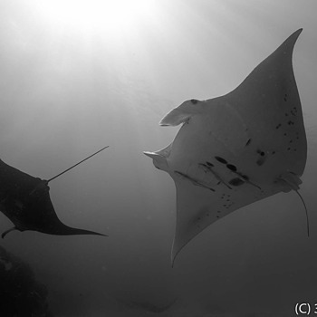 Manta Rays | LENS MODEL NOT SET