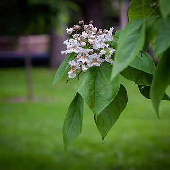Catalpa.tree.flower@f.2.8 | ZEISS PLANAR F1.4 85MM