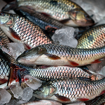 Fish on Ice, Vientiane Market, Laos | ZEISS MAKRO PLANAR F2.0 50MM