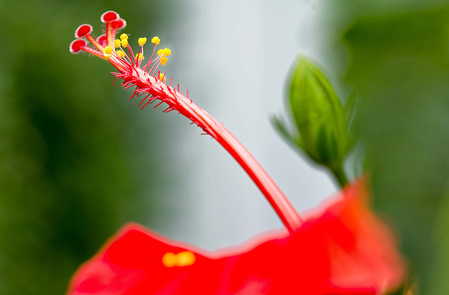 Hibiscus | ZEISS APO SONNAR F2 135MM <br> Click image for more details, Click <b>X</b> on top right of image to close