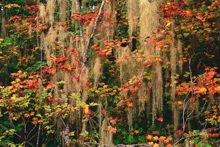 Vine Maples and Old Man's Beard Moss. Cascade Foothills. | LENS MODEL NOT SET <br> Click image for more details, Click <b>X</b> on top right of image to close