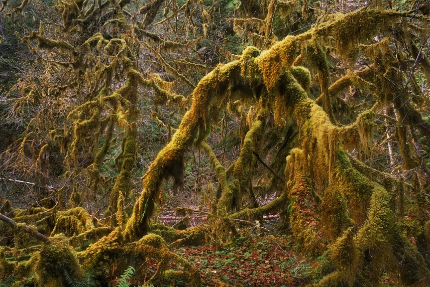 Maples Draped With Moss. Olympic Nat. Park, WA. | ZEISS G BIOGON 28MM F2.8 <br> Click image for more details, Click <b>X</b> on top right of image to close