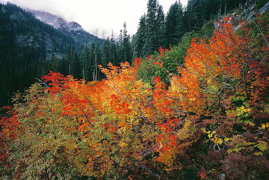 Vine Maples. Snoqualmie Pass, Washington Cascades. | LENS MODEL NOT SET <br> Click image for more details, Click <b>X</b> on top right of image to close