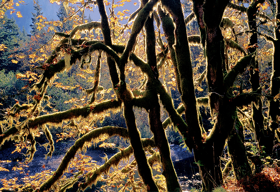 Maples. Middle Fork Snoqualmie, Washington Cascades. | LENS MODEL NOT SET <br> Click image for more details, Click <b>X</b> on top right of image to close
