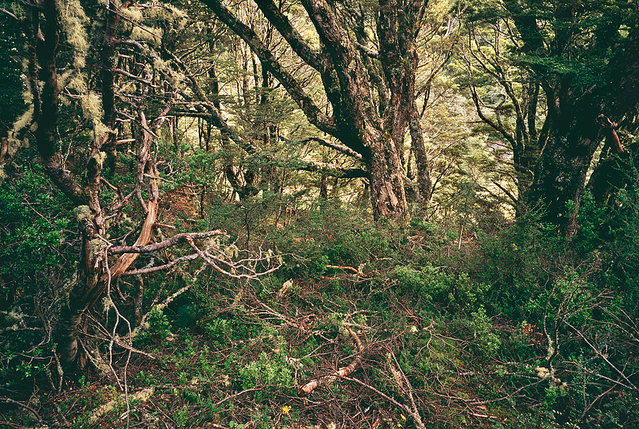 Beech Forest Interior. Mt.Aspiring Nat. Park, NZ. | ZEISS G BIOGON 21MM F2.8 <br> Click image for more details, Click <b>X</b> on top right of image to close