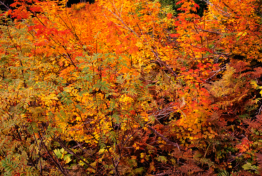 Fall Colors. Snoqualmie Pass, Washington State. | ZEISS G PLANAR 45MM F2 <br> Click image for more details, Click <b>X</b> on top right of image to close