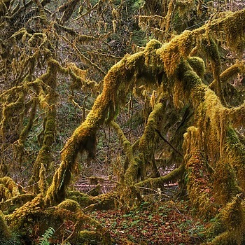 Maples Draped With Moss. Olympic Nat. Park, WA.