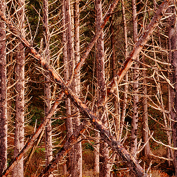Forest Edge. Rialto Beach, WA. | ZEISS G SONNAR 90MM F2.8 <br> Click image for more details, Click <b>X</b> on top right of image to close