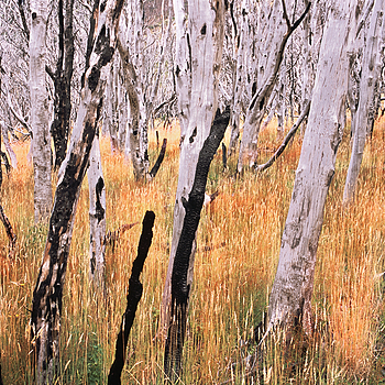 Burnt Lenga Forest. Patagonia, Chile. | ZEISS ZM BIOGON F2.0 35MM <br> Click image for more details, Click <b>X</b> on top right of image to close