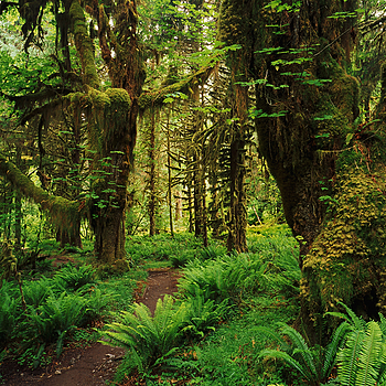 Trail through Hoh Rainforest. Olympic Nat. Park, WA | ZEISS G BIOGON 21MM F2.8 <br> Click image for more details, Click <b>X</b> on top right of image to close