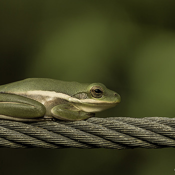 Frog of the Wire | ZEISS APO SONNAR F2 135MM