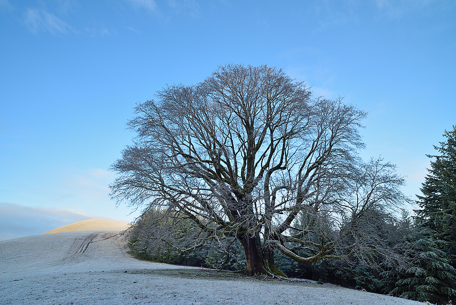 Big Leaf Maple Tree, Light Snow, Telegraph Ridge, Humboldt County, California | ZEISS DISTAGON F2.8 21MM <br> Click image for more details, Click <b>X</b> on top right of image to close