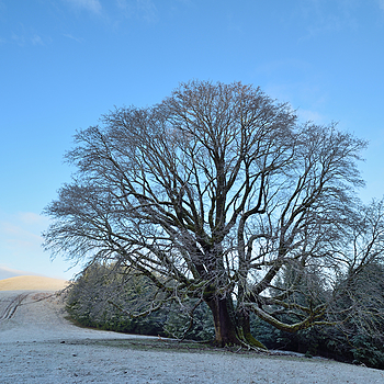 Big Leaf Maple Tree, Light Snow, Telegraph Ridge, Humboldt County, California | ZEISS DISTAGON F2.8 21MM