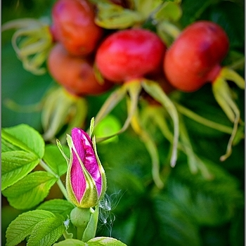 Rosehip Flower and Fruit | ZEISS APO SONNAR F2 135MM <br> Click image for more details, Click <b>X</b> on top right of image to close