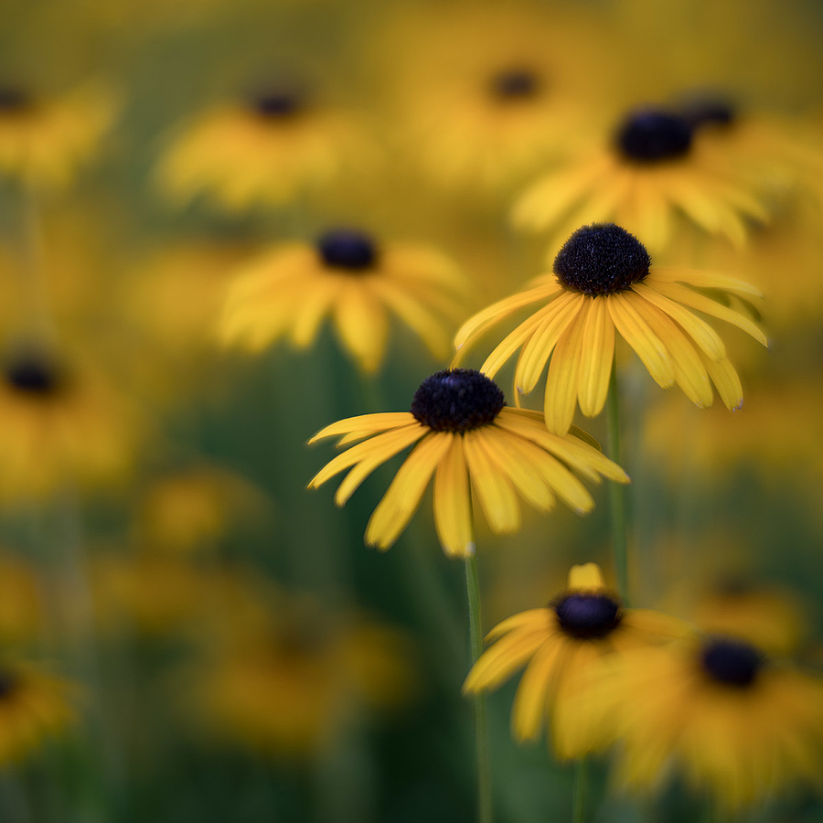 zeissimages.com gallery | Black-eyed Susans 2 | Zeiss Otus Apo Planar 85mm f1.4 | ILCE-7RM2