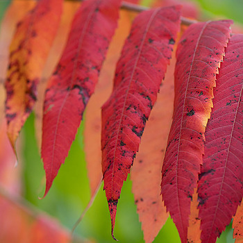 Sumac leaves, South Bend, Indiana