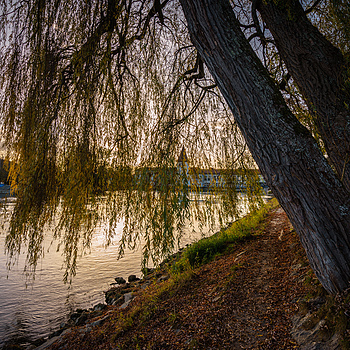 Weeping Willow | ZEISS VARIO-TESSAR T* FE 16-35MM F4 ZA OSS