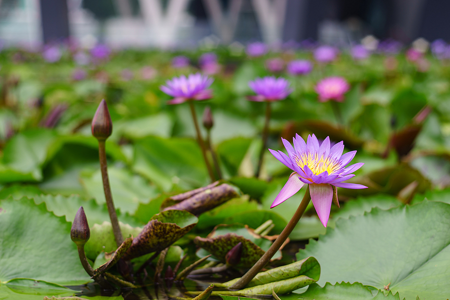 Water Lily Bloom at MBS - Singapore | ZEISS C PLANAR 80MM F2.8 <br> Click image for more details, Click <b>X</b> on top right of image to close