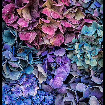 Hydrangea Pedals | ZEISS SONNAR 55MM F1.8 FE ZA <br> Click image for more details, Click <b>X</b> on top right of image to close