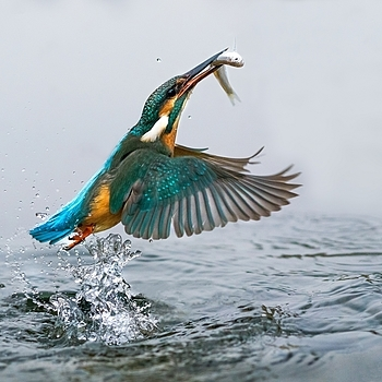 Kingfisher | ZEISS ZA SONNAR 135MM F1.8 <br> Click image for more details, Click <b>X</b> on top right of image to close