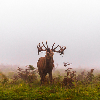 Bellowing Stag | LENS MODEL NOT SET