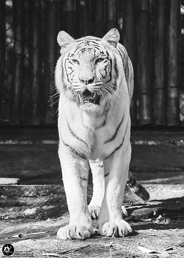 zeissimages.com gallery | White Tiger | Lens model not set | ILCE-7RM2