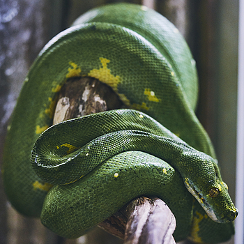 Green Snake | LENS MODEL NOT SET