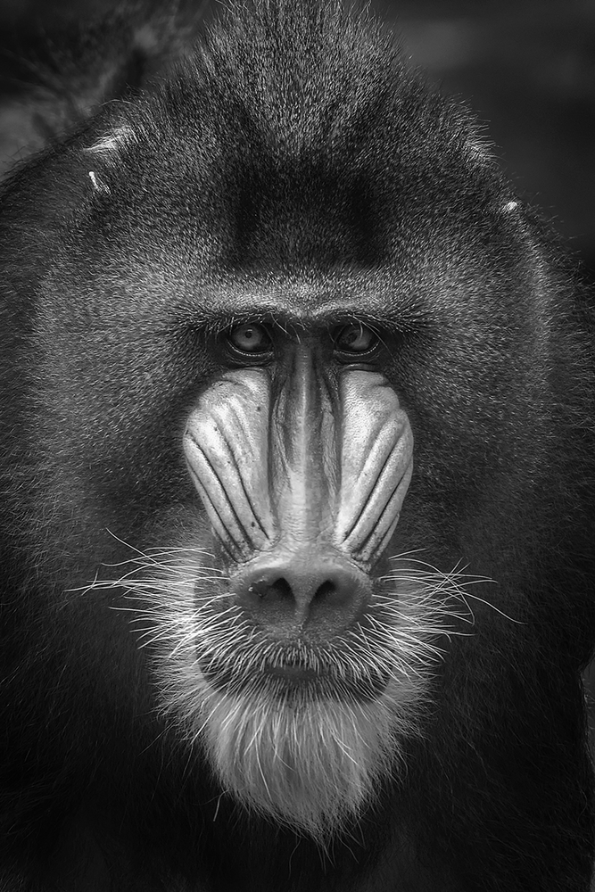 Mandrill | LENS MODEL NOT SET <br> Click image for more details, Click <b>X</b> on top right of image to close
