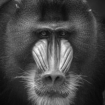 Mandrill | LENS MODEL NOT SET