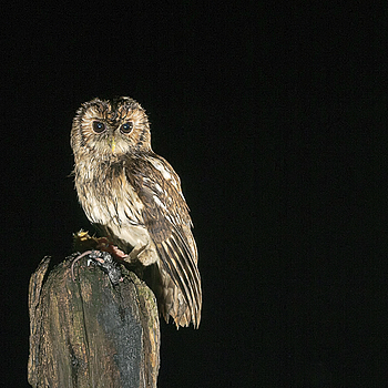 Tawney Owl | LENS MODEL NOT SET <br> Click image for more details, Click <b>X</b> on top right of image to close