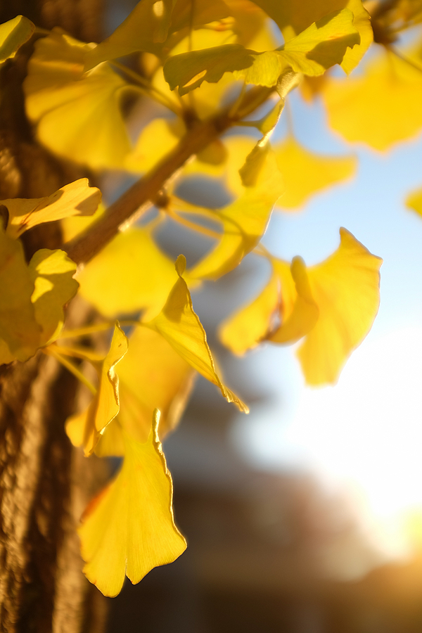 ginkgo leaves | LENS MODEL NOT SET <br> Click image for more details, Click <b>X</b> on top right of image to close
