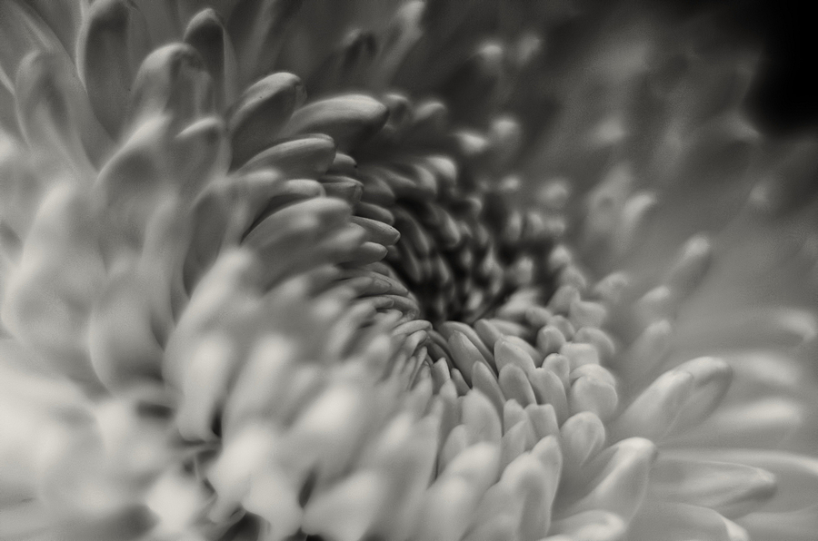 Chrysanthemum | ZEISS CY PLANAR 50MM F1.7 <br> Click image for more details, Click <b>X</b> on top right of image to close