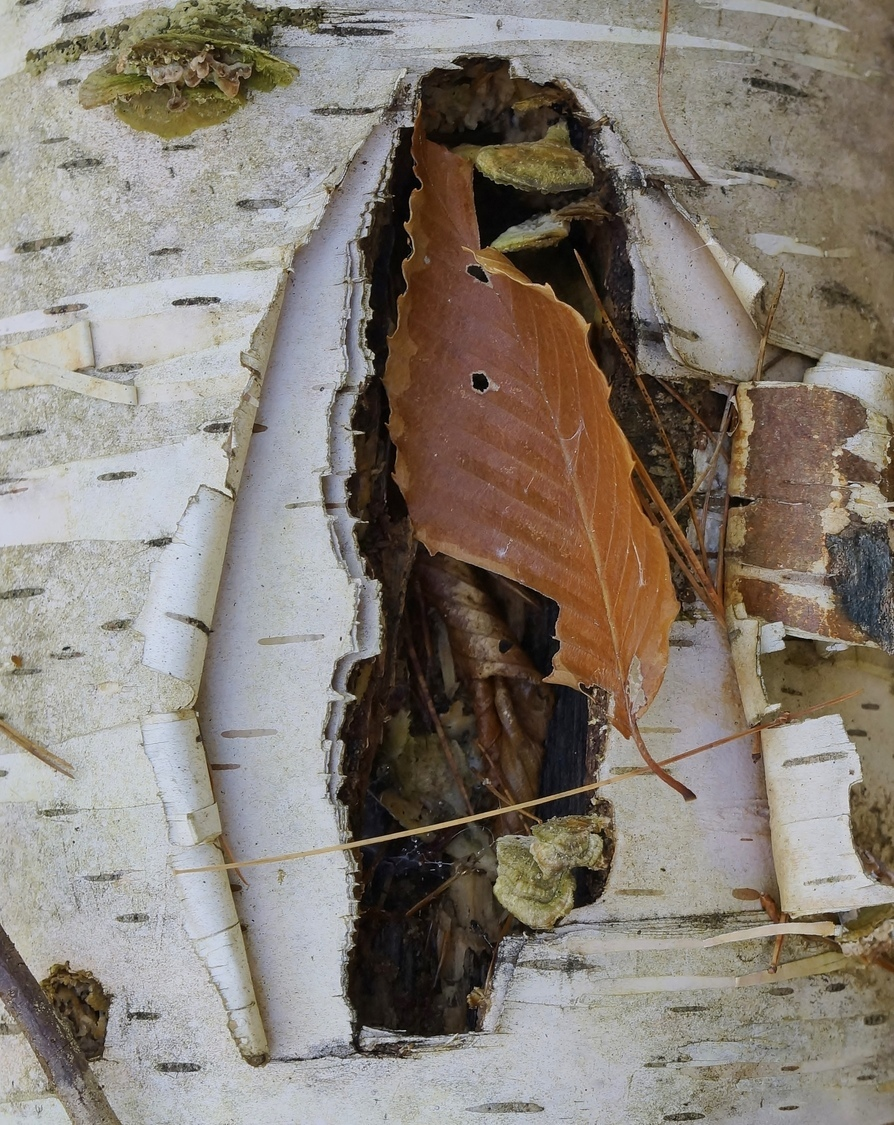 Birch Bark and Leaf | ZEISS VARIO-TESSAR 16-70MM F4 ZOOM <br> Click image for more details, Click <b>X</b> on top right of image to close