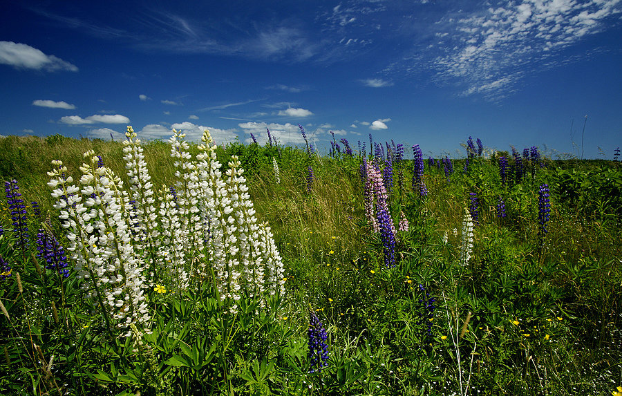 Lupines are out! | ZEISS ZA VARIO-SONNAR F2.8 16–35MM <br> Click image for more details, Click <b>X</b> on top right of image to close