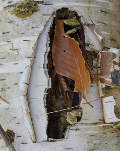 Birch Bark and Leaf