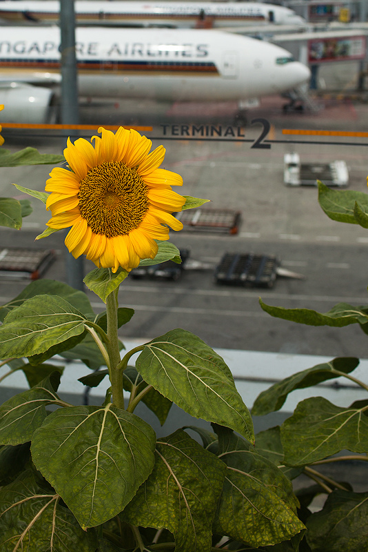 Sunflower Garden, Changi Airport | ZEISS DISTAGON F2.0 35MM <br> Click image for more details, Click <b>X</b> on top right of image to close