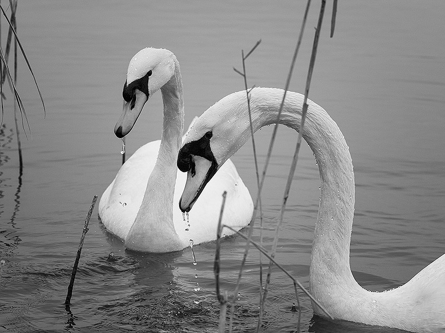 Swan | ZEISS MAKRO PLANAR F2.0 100MM <br> Click image for more details, Click <b>X</b> on top right of image to close