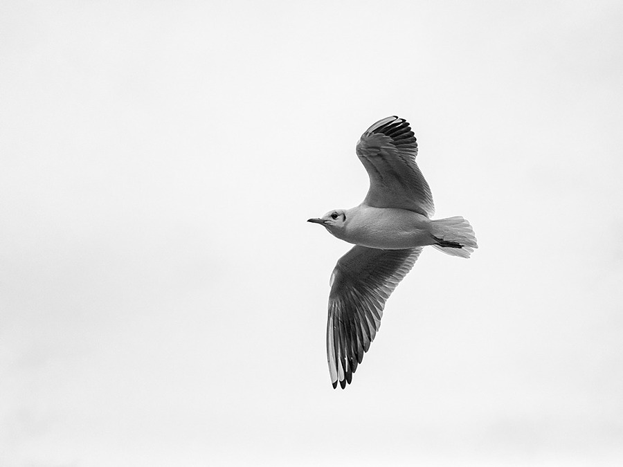 Sea Gull | ZEISS MAKRO PLANAR F2.0 100MM <br> Click image for more details, Click <b>X</b> on top right of image to close