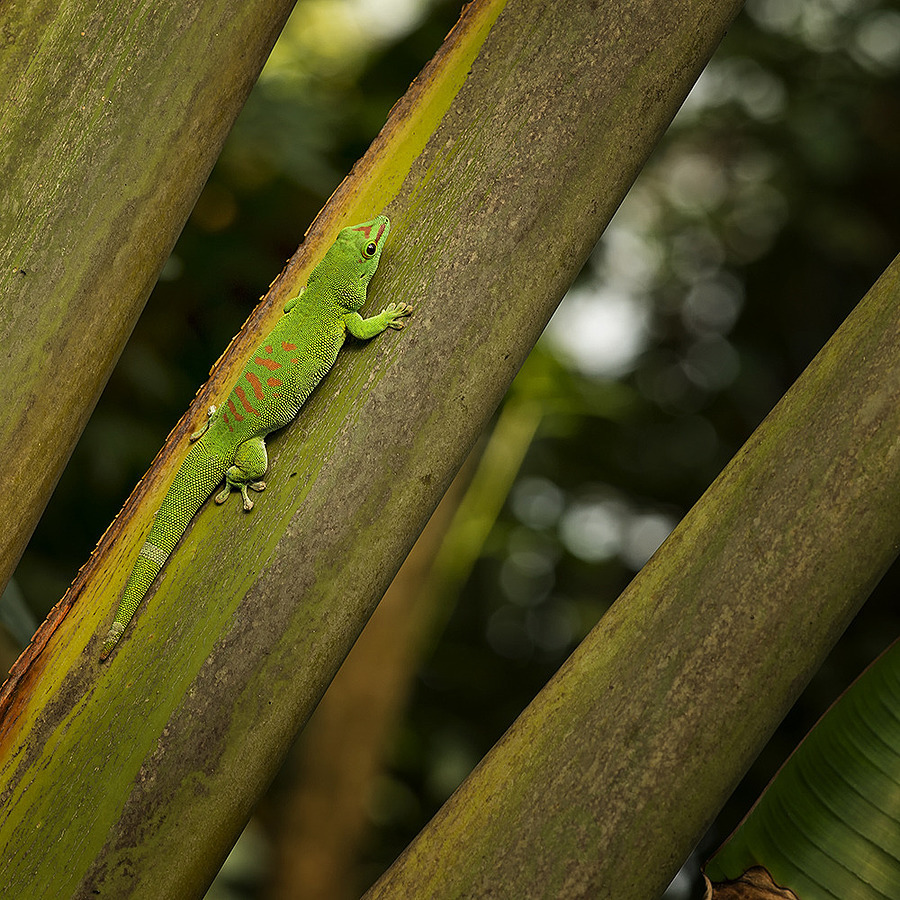 Madagaskar Day Gecko | ZEISS APO SONNAR F2 135MM <br> Click image for more details, Click <b>X</b> on top right of image to close