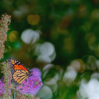 Monarch Butterfly | ZEISS APO SONNAR F2 135MM