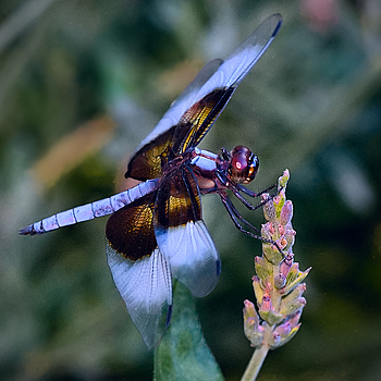 Dragon Fly | ZEISS APO SONNAR F2 135MM <br> Click image for more details, Click <b>X</b> on top right of image to close