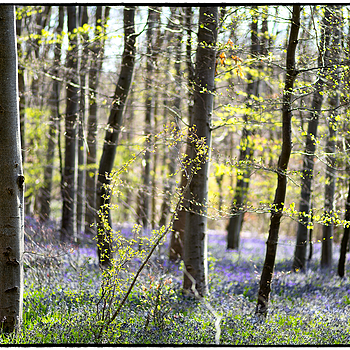 Spring 2016 in Webb's Wood Wiltshire, England | ZEISS MAKRO PLANAR F2.0 100MM <br> Click image for more details, Click <b>X</b> on top right of image to close
